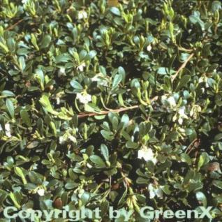 Europäische Bärentraube 20-25cm - Arctostaphylos uva-ursi - Vorschau