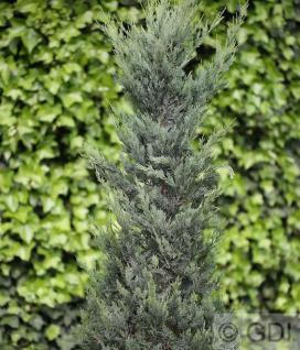 Blaureif Wacholder 80-100cm - Juniperus virginiana - Vorschau