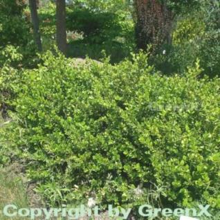 Buchsbaum Faulkner 25-30cm - Buxus microphylla - Vorschau