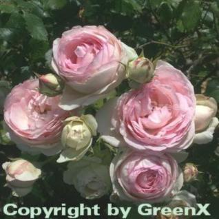 Romantikrose Eden Rose® 30-60cm - Vorschau