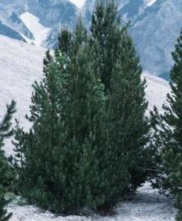 Bergkiefer Green Column 40-50cm - Pinus mugo - Vorschau