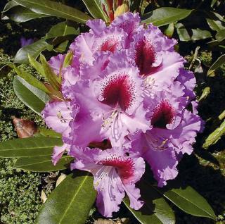 Großblumige Rhododendron Kabarett 40-50cm - Alpenrose - Vorschau