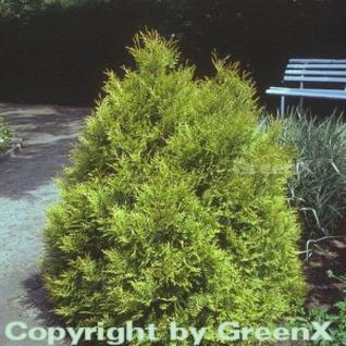 Lebensbaum Rheingold 40-50cm - Thuja occidentalis - Vorschau