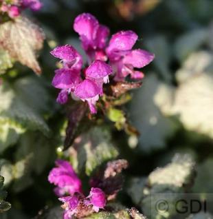 Waldnessel Sterling Silver - Lamium maculatum - Vorschau