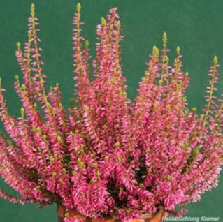 10x Knospenheide Gardengirls Jette - Calluna vulgaris - Vorschau