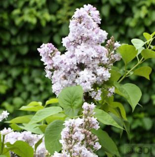 Edelflieder Nadeshda - Kircher-Collection 40-60cm - Syringa vulgaris
