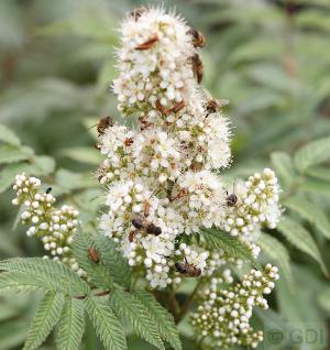 Sibirische Fiederspiere® 80-100cm - Sorbaria sorbifolia - Vorschau