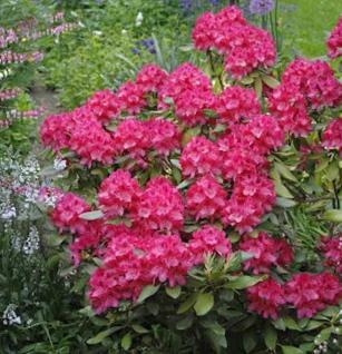 INKARHO - Rhododendron Astrid® 40-50cm - Alpenrose - Vorschau