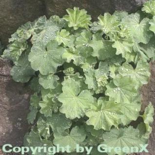 Frauenmantel mollis - Alchemilla mollis - Vorschau