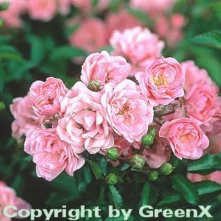 Hochstamm Rose The Fairy 80-100cm - Vorschau