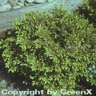 Nestfichte Nidiformis 30-40cm - Picea abies - Vorschau