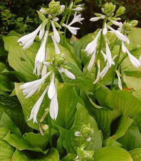 Grünblattfunkie Royal Standard - Hosta plantaginea - Vorschau