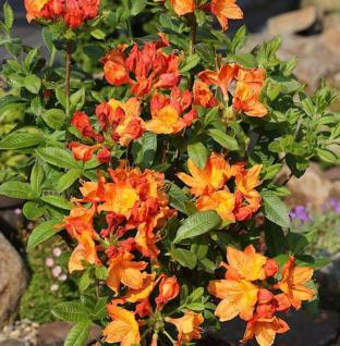 Azalee Brazil 30-40cm - Rhododendron luteum - Alpenrose - Vorschau
