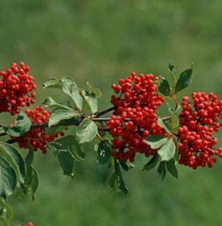 Rote Holunder 80-100cm - Sambucus racemosa - Vorschau