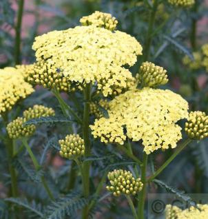 Schafgarbe Desert Eve Yellow - großer Topf - Achillea millefolium - Vorschau