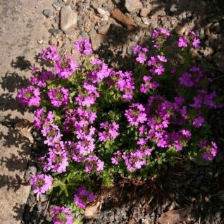 Alpenbalsam - Erinus alpinus - Vorschau