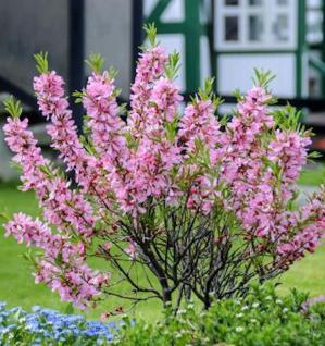 Zwerg Mandelbäumchen Fire Hill 40-60cm - Prunus tenella - Vorschau