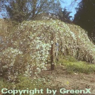 Hochstamm Frühlingstrauerkirsche 60-80cm - Prunus subhirtella - Vorschau