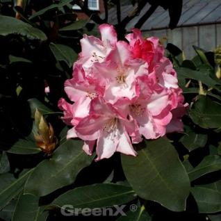 Großblumige Rhododendron Lems Monarch 30-40cm - Alpenrose