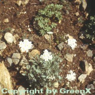 Silber Garbe - Achillea kolbiana - Vorschau