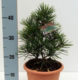 Japanische Schirmtanne Piccola 10-15cm - Sciadopitys verticillata - Vorschau