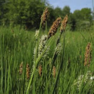 Schwarzbraune Segge - Carex nigra - Vorschau