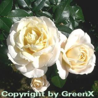 Märchenrose Lions Rose® 30-60cm - Vorschau