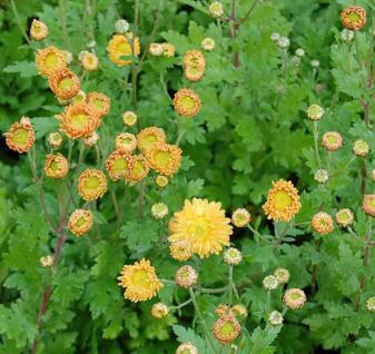 Winteraster Goldmarianne - Chrysanthemum Indicum - Vorschau