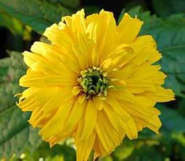 Sonnenauge Goldgefieder - Heliopsis scabra - Vorschau