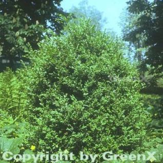 Hoher Buchsbaum 50-60cm - Buxus sempervierens arborescens - Vorschau