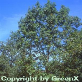 Färber Eiche 80-100cm - Quercus velutina - Vorschau