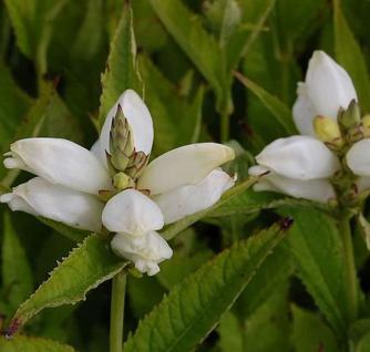 Schildblume Alba - Chelone obliqua - Vorschau