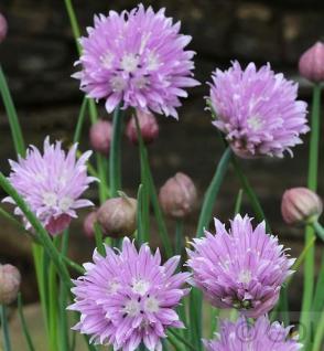 Berglauch - Allium senescens - Vorschau