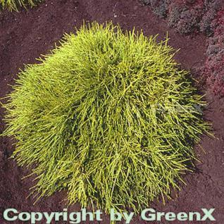 Gelbe Fadenzypresse Sungold 30-40cm - Chamaecyparis pisifera - Vorschau