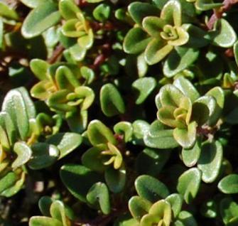 Echter Zitronen Thymian Aureus - Thymus citriodorus - Vorschau