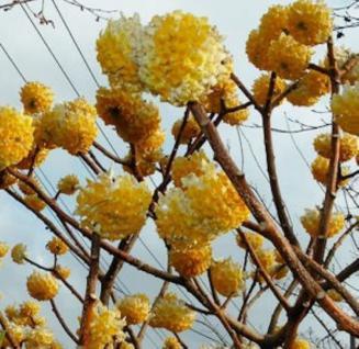 Papierblattpflanze 80-100cm - Edgeworthia chrysantha - Vorschau
