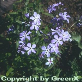 Wilder Phlox Blue Ridge - Phlox stolonifera - Vorschau
