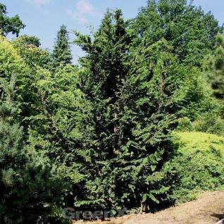 Hinoki Scheinzypresse Teddy Bear 15-20cm - Chamaecyparis obtusa - Vorschau