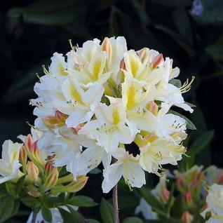 Azalee Daviesii 40-50cm - Rhododendron luteum - Alpenrose - Vorschau
