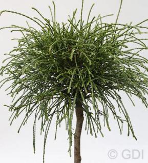 Hochstamm Faden Lebensbaum Whipcord 60-80cm - Thuja plicata - Vorschau