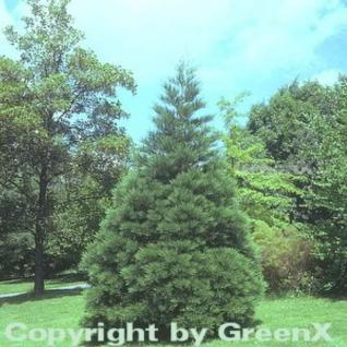Kalifornischer Mammutbaum 40-50cm - Sequoiadendron giganteum - Vorschau