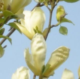 Magnolie Elizabeth 100-125cm - Magnolia brooklynensis - Vorschau