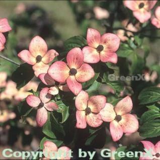 Japanischer Blumenhartriegel Satomi 60-80cm - Cornus kousa - Vorschau