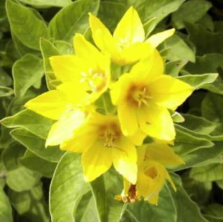 Gefleckter Gold Felberich - Lysimachia punctata - Vorschau