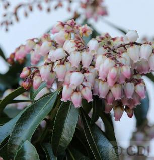 Schattenglöckchen Lavendelheide Valley Rose 60-80cm - Pieris japonica - Vorschau