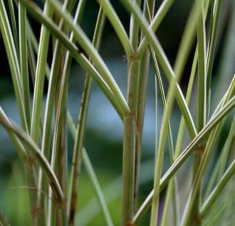 Chinaschilf Morning Light- XXXL Topf - Miscanthus sinensis - Vorschau