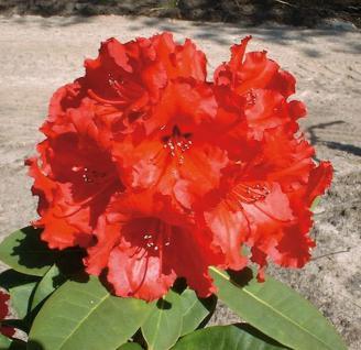 Großblumige Rhododendron Red Jack 40-50cm - Alpenrose - Vorschau