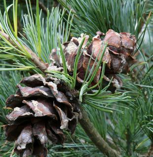 Bonsaiartige blaue Mädchenkiefer 70-80cm - Pinus parviflora - Vorschau