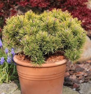 Wintergelbe Zwergbergkiefer 25-30cm - Pinus mugo - Vorschau
