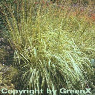 Moor Pfeifengras - Molinia caerulea - Vorschau